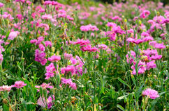 Pink Dianthus flower (Dianthus chinensis) Stock Images