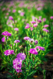 Pink Dianthus flower in the garden3 Stock Image