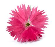 Pink Dianthus. Flower head isolated on white background stock photo