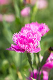 Pink Dianthus Flower. Royalty Free Stock Photos