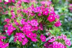 Pink dianthus flower in the park Dianthus sp. CARYOPHYLLACEAE stock image