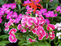 Pink Dianthus flower Royalty Free Stock Photos