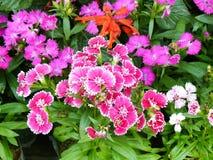 Pink Dianthus flower Stock Image