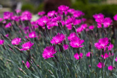 Pink Dianthus Stock Photography