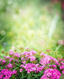Pink dianthus flowers on blurred garden or park background Stock Image