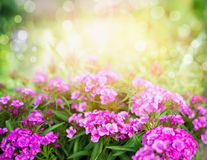 Pink dianthus flowers on sunny garden or park background, horizontal Royalty Free Stock Photography