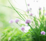 Pink dianthus flowers on sunny garden or park background, horizontal Royalty Free Stock Images