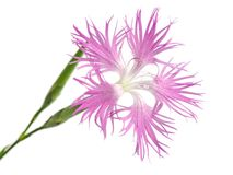 Pink , dianthus superbus , nadeshiko Royalty Free Stock Images