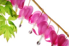 Pink dicentra Stock Photos