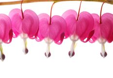 Pink dicentra stock images