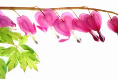 Pink dicentra Royalty Free Stock Photo