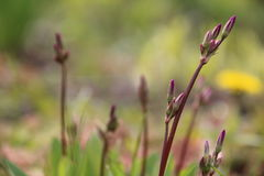 Pink Dodecatheon Royalty Free Stock Photography