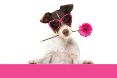 Pink Dog Royalty Free Stock Image