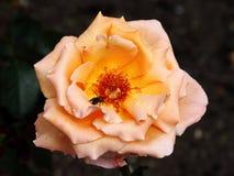 Pink dog rose Stock Photo