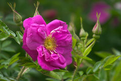 Pink dog-rose. Open pink dog-rose flower in a garden royalty free stock images
