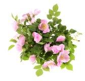Pink dog rose Stock Photos