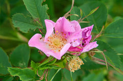 Pink dog rose flower Stock Image