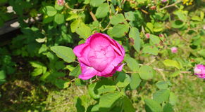 Pink dog-rose flower. In the garden Stock Photos