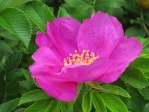 Dog rose flower - Dogrose Stock Photos Royalty Free Stock Image