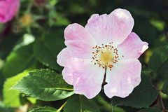Pink Dog rose Royalty Free Stock Photos