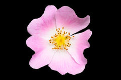 Pink Dog Rose (rosa canina) Royalty Free Stock Photography