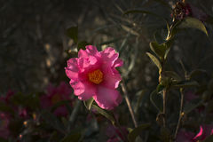 Pink dog rose Rosa Canina flowers Stock Photos