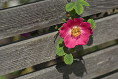 Pink dog rose Stock Image