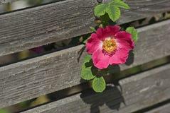 Pink dog rose Stock Image