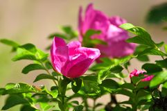 Pink dogrose garden flower in the sunlight.  royalty free stock photo