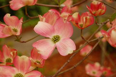 Pink Dogwood Stock Image