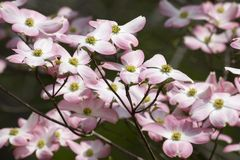 Pink Dogwood. Beautiful Pink Flowering Dogwood Blooms Close Up stock images