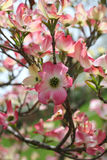 Pink Dogwood Stock Photo