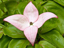 Pink dogwood flower in bloom Stock Image