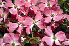 Pink dogwood background. Close up from pink dogwood background Royalty Free Stock Photography