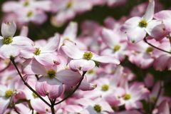 Pink Dogwood Blooms. Closeup of pink dogwood tree blooms in North Carolina Stock Photos