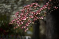Pink Dogwood Blooms During Spring in Direct Sunlight. Horizontal photograph of pink dogwood blooms in the spring with sunlight on them royalty free stock images