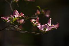 Pink Dogwood Blooms During Spring in Direct Sunlight. Horizontal photograph of pink dogwood blooms in the spring with sunlight on them royalty free stock photos