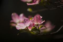 Pink Dogwood Blooms During Spring in Direct Sunlight. Horizontal photograph of pink dogwood blooms in the spring with sunlight on them stock photo