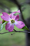 Pink Dogwood blossom Stock Images