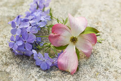 Pink Dogwood Blossom and Blue Moon Phlox. On stone background Stock Photos