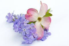Pink Dogwood Blossom and Blue Moon Phlox. On white background Royalty Free Stock Photos