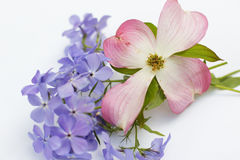 Pink Dogwood Blossom and Blue Moon Phlox. On white background Stock Photo