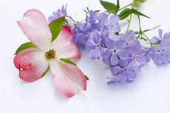 Pink Dogwood Blossom and Blue Moon Phlox. On white background Royalty Free Stock Image