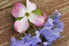 Pink Dogwood Blossom and Blue Moon Phlox. On wooden background Royalty Free Stock Images