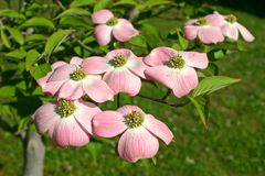 Pink Dogwood Blossom Cluster Royalty Free Stock Images