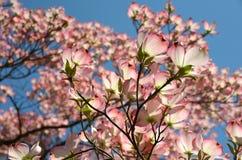 Pink Dogwood Stock Photos