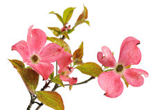 Pink Dogwood Blossoms isolated on white Royalty Free Stock Photos