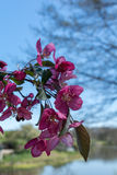 Pink Dogwood Branch in Bloom Royalty Free Stock Image