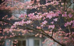 Pink Dogwood Branches Royalty Free Stock Images