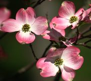 Pink Dogwood Closeup Royalty Free Stock Photos
